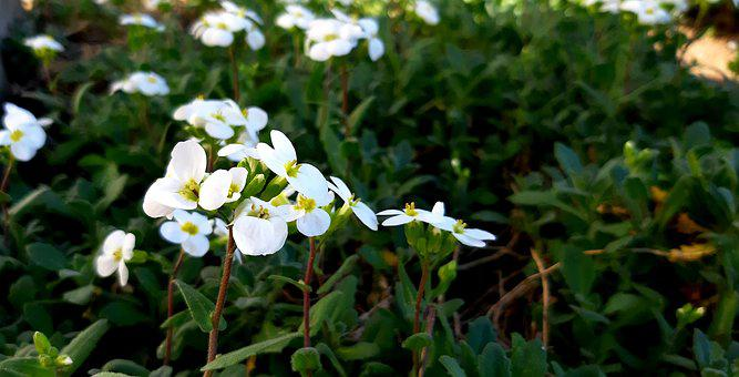 Arabis, Flower, White, Plant, Garden, Nature, Spring