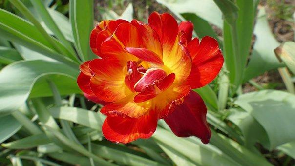 Tulip, Flower, Spring, April, Garden, Netherlands, Red