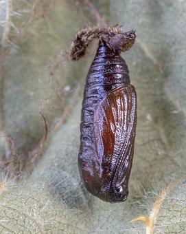 Grey-pug-moth, Pupa, Brown, Shiny, Metamorphosis