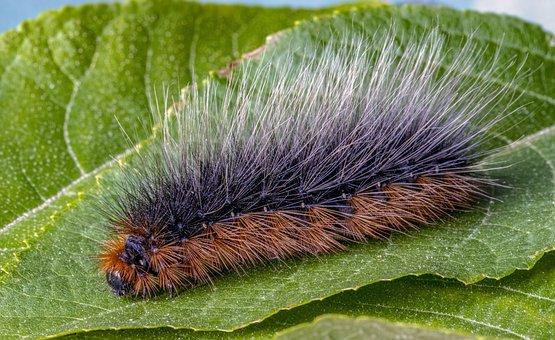 Garden-tiger, Moth, Larva, Caterpillar, Insect