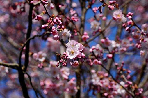 Japanese Cherry Blossom, Cherry Blossom, Tree, Pink