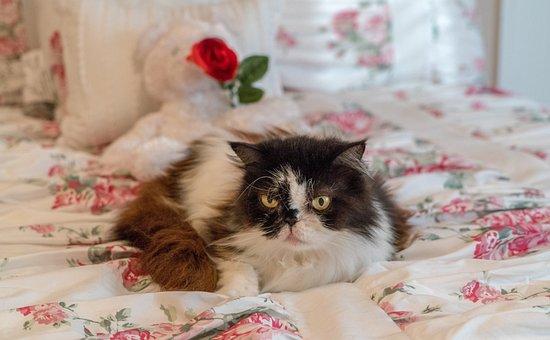 Persian Cat, Senior, Mature, Fluffy, Pet, Cute