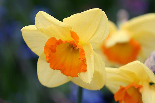 Narcissus, Yellow, Daffodil, Flower, Spring, Blossom