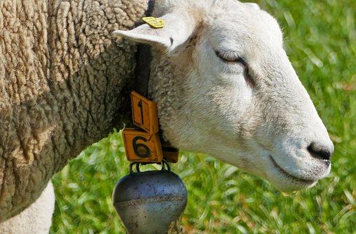 Nature, Agriculture, Animals, Sheep, Bell, Sun, Light