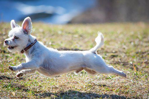 Dog, White, Race, In Motion, Out, Meadow, Run, Fast