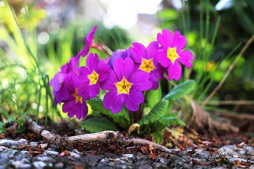 Primrose, Spring, Flower, Nature, Garden