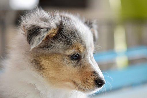 Dog, Shetland Sheepdog, Puppy, Portrait Puppy Profile