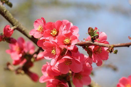 Ornamental Quince, Flowers, Bush, Red, Red Orange