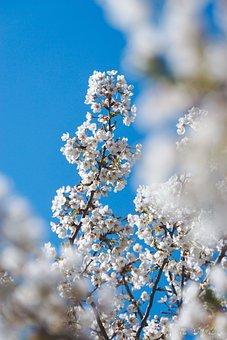 Cherry Blossom, Flower, Spring Equinox, Spring