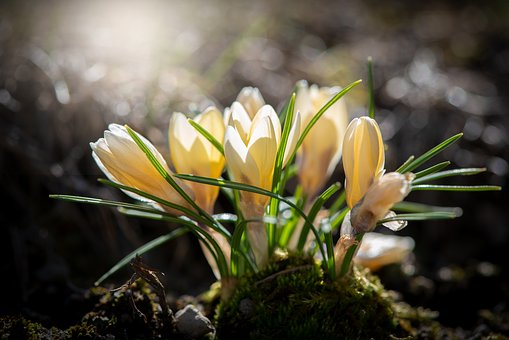 Crocus, Yellow, Flowers, Early Bloomer, Spring