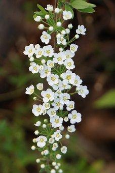 Flowers, Bush, White, Garden, Spring, Plant, Bloom