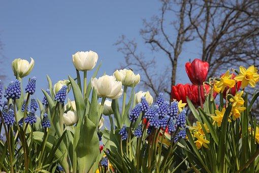 Tulips, Keukenhof, Tulip Fields, Spring, Netherlands