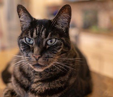 Cat, Tabby, Close Up, Pet, Animal, Fur, Sweet, Tiger