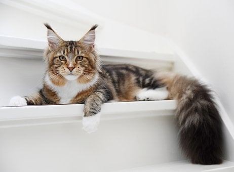 Cat, Hangover, Pet, Kitten, Tiger, Portrait, Mainecoon