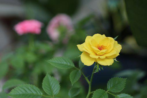 Yellow Rose, Love, Rich, Leave, Green, Tree, Garden