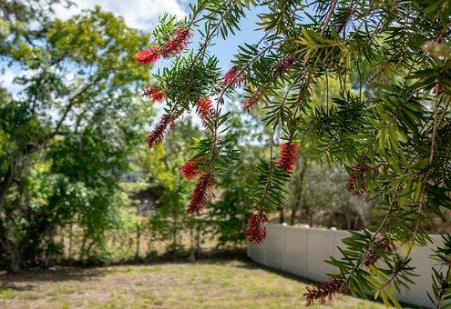 Bottle Brush Flowers, Yard, Florida, Nature, Travel