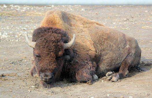 Bison, Buffalo, American, Prairie, Lying, Animal
