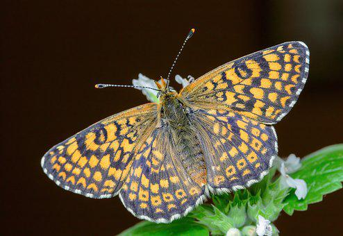 Butterfly, Glanville-fritillary, Antenna, Pattern