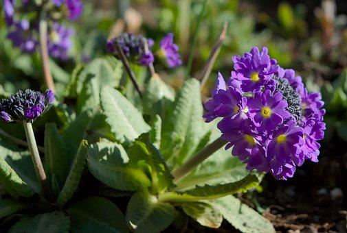 Spring, Primrose, Plant, Blossom, Bloom, Garden