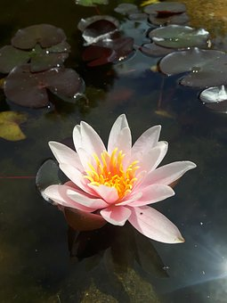 Water Lily, Blossom, Bloom, Pond, Bloom, Water, Purple