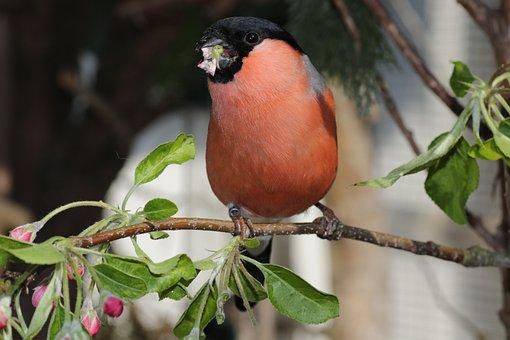 Gimpel, Bullfinch, Bird, Songbird, Pyrrhula, Fink