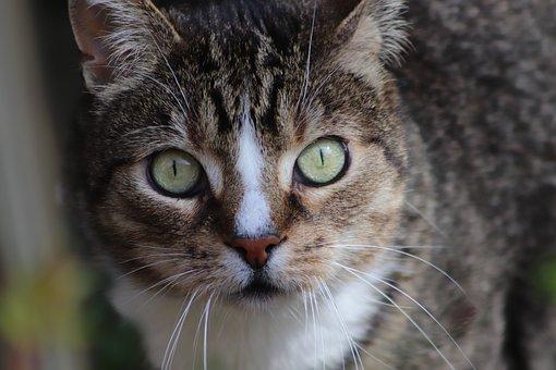 Cat, Cat Face, Cat's Eyes, Pet, Domestic Cat, View