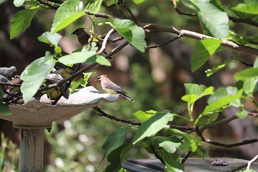 Bird, Wildlife, Cedar Wax Wing, Fig Tree, Bird Bath