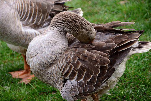 Goose, Domestic Goose, Animal, Poultry, Plumage