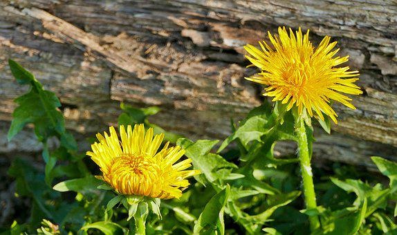Landscape, Forest, Dandelion, Flower, Yellow, Light