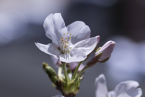 Cherry Blossom, Spring, Nature, Flowers, Plants, Wood