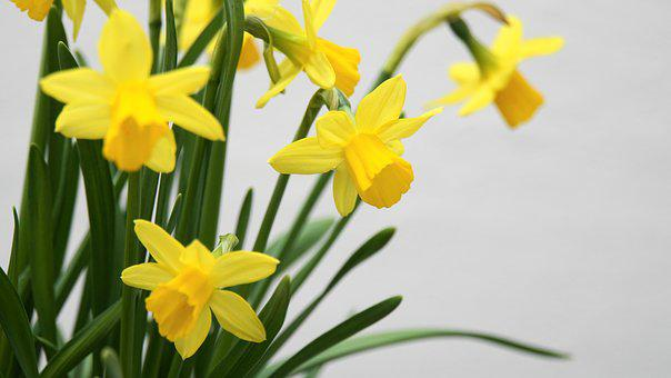 Osterglocken, Daffodils, Spring, Easter, Flowers