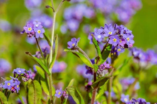 Forget Me Not, Myosotis, Raublattgewächs, Boraginaceae