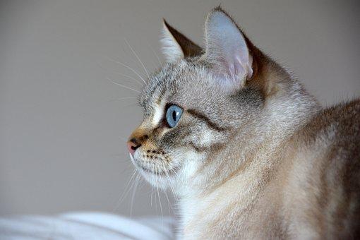 Cat, Blue Eyes, Feline, Kitty, Adorable, Mammals, Eyes