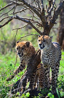 Cheetah, Kruger National Park, Africa, Nature