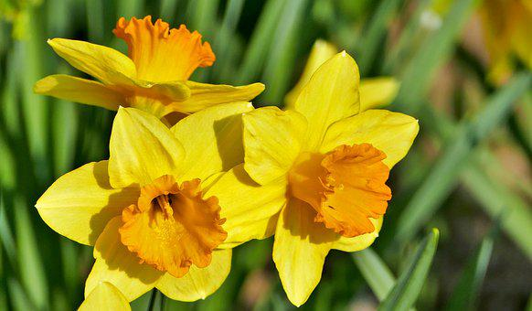 Nature, Flowers, Daffodils, Yellow, Stems, Leaves