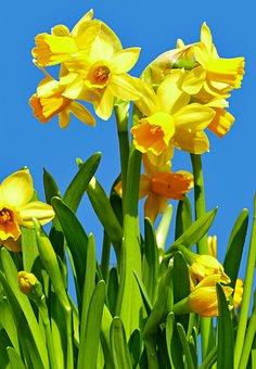 Nature, Plant, Flowers, Daffodils, Light, Sun, Strauss