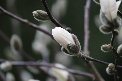 Magnolia, Bud, Spring, White, Branch, Blossom, Bloom