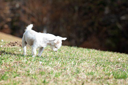 Dog, White, Out, Meadow, Mouse Hole, Maltese-havanese