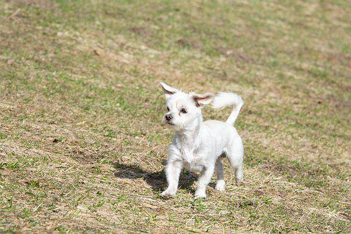 Dog, White, Meadow, Out, Nature, In Motion, Run, Small