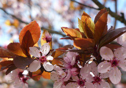 Cherry Blossoms, Spring, Pink, Tree, Branch, Nature