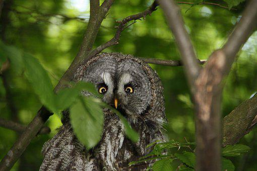 Owl, Eagle Owl, Bird, Nature, Forest, Feather, Plumage