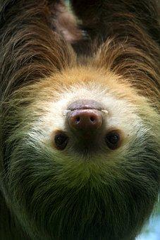 Sloth, Tropical, Nature, Animal, Wildlife, Jungle