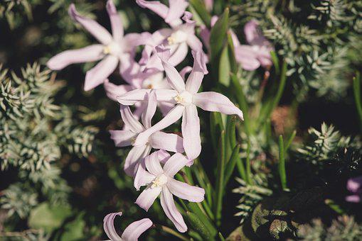 Flowers, Pink, Star Hyacinth, Small Flowers, Spring