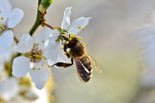 Bee, Honey Bee, Insect, Pollen, Nectar, Collect