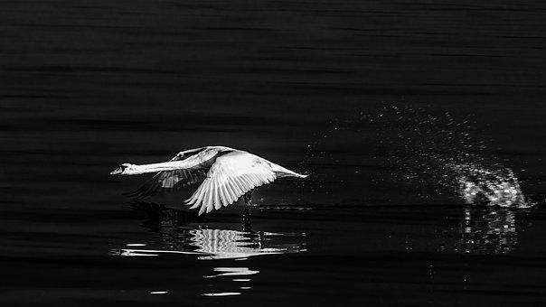 Swan, Water Bird, Flight, Elegant, Poultry, Creature