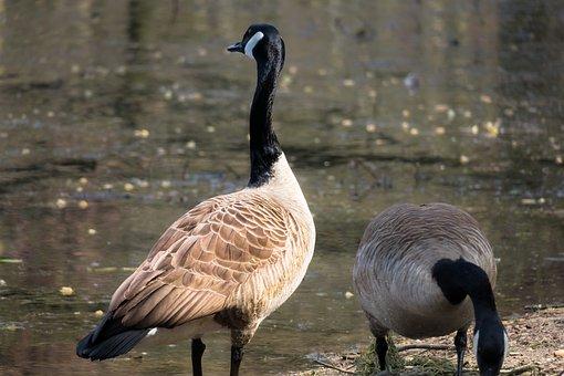 Canada Goose, Watch, Pride, Upright, Outlook, Look