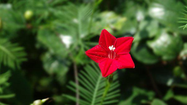 Flower, Red, Bloom, Love, Blossom, Nature, Plant