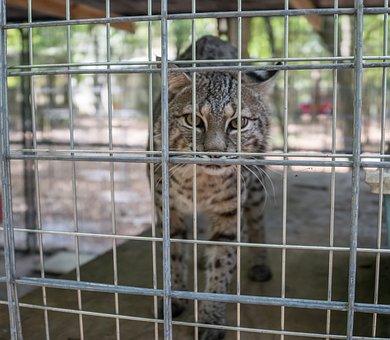 Serval, Big Cat, Rescue, Sanctuary, Wild Animal