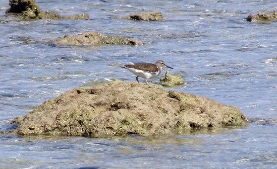 Bird, Sandpiper, Common Sandpiper, Actitis Hypoleucos