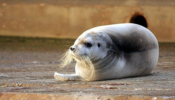 Robbe, Bart Robbe, Seal, Wild Animal, Meeresbewohner